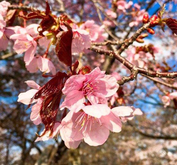 えりもの桜